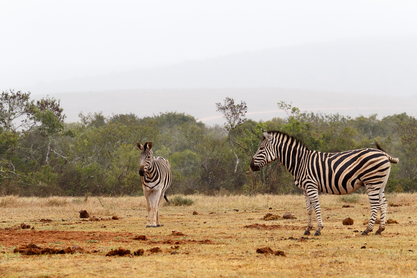 Zebras standing and waiting at the dam by Charissa de Scande Lotter