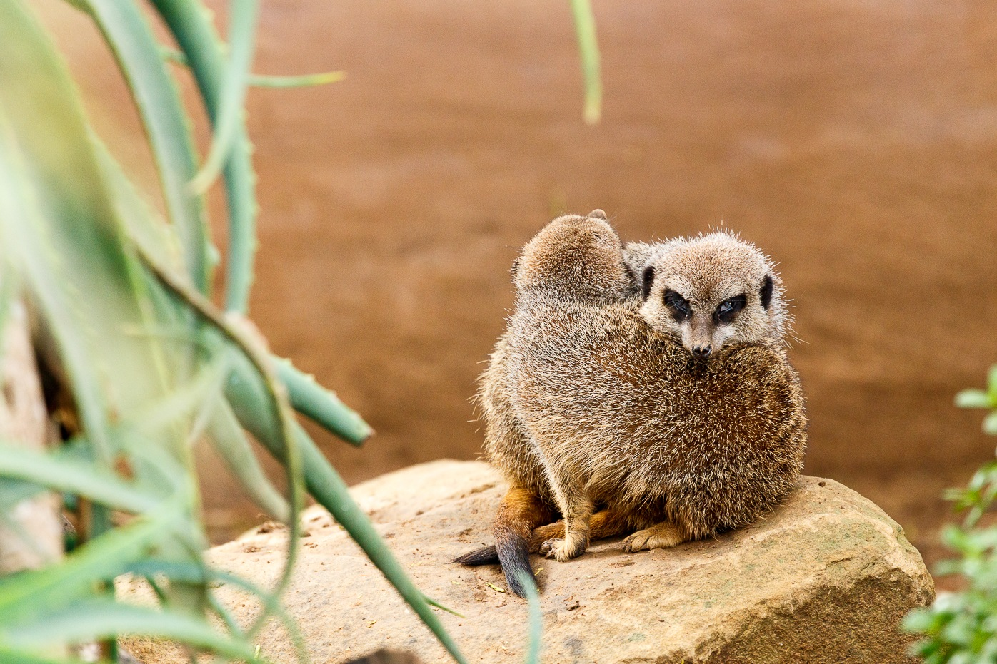 Meerkat looking sneaky over the other one by Charissa de Scande Lotter