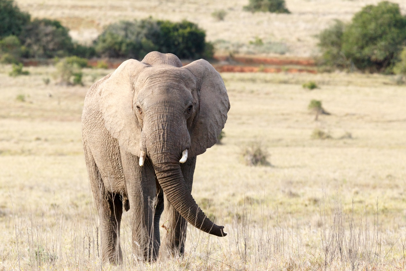 Elephant standing with his trunk pointing to the side by Charissa de Scande Lotter