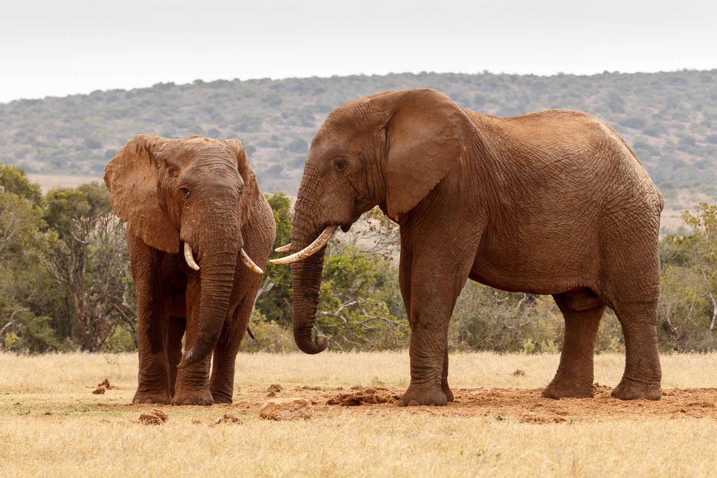 African elephants staring at each other by Charissa de Scande Lotter