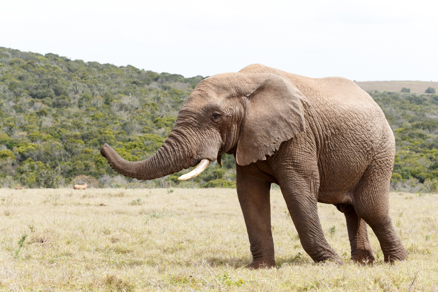 Bush Elephant showing direction with his trunk by Charissa de Scande Lotter