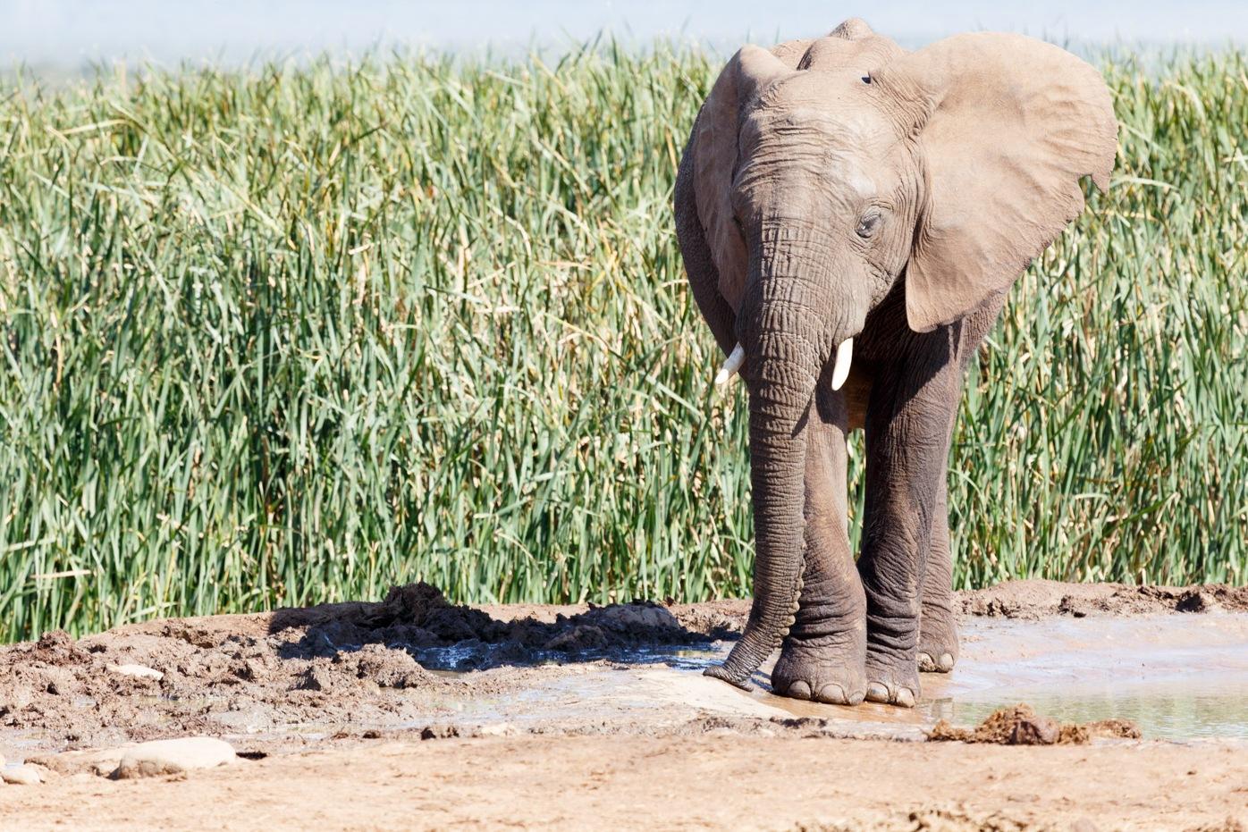 Bush Elephant focusing on slurping up some water by Charissa de Scande Lotter
