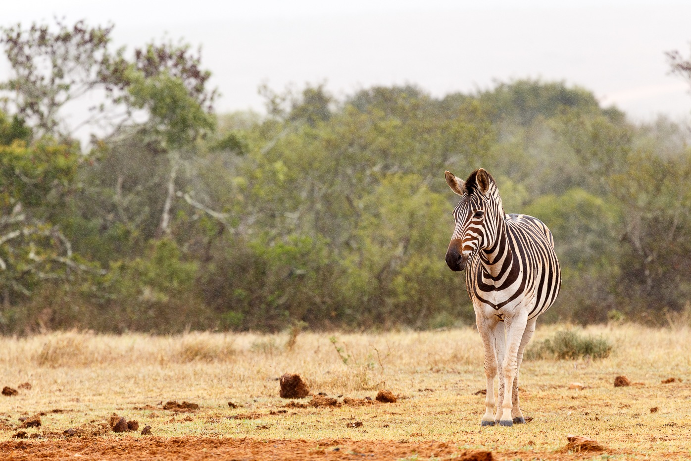 Burchell's Zebra standing alone and waiting by Charissa de Scande Lotter