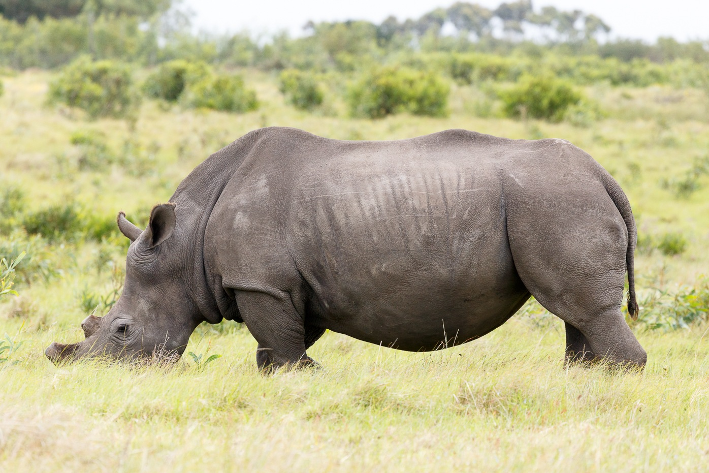 Rhino with his face in the grass by Charissa de Scande Lotter