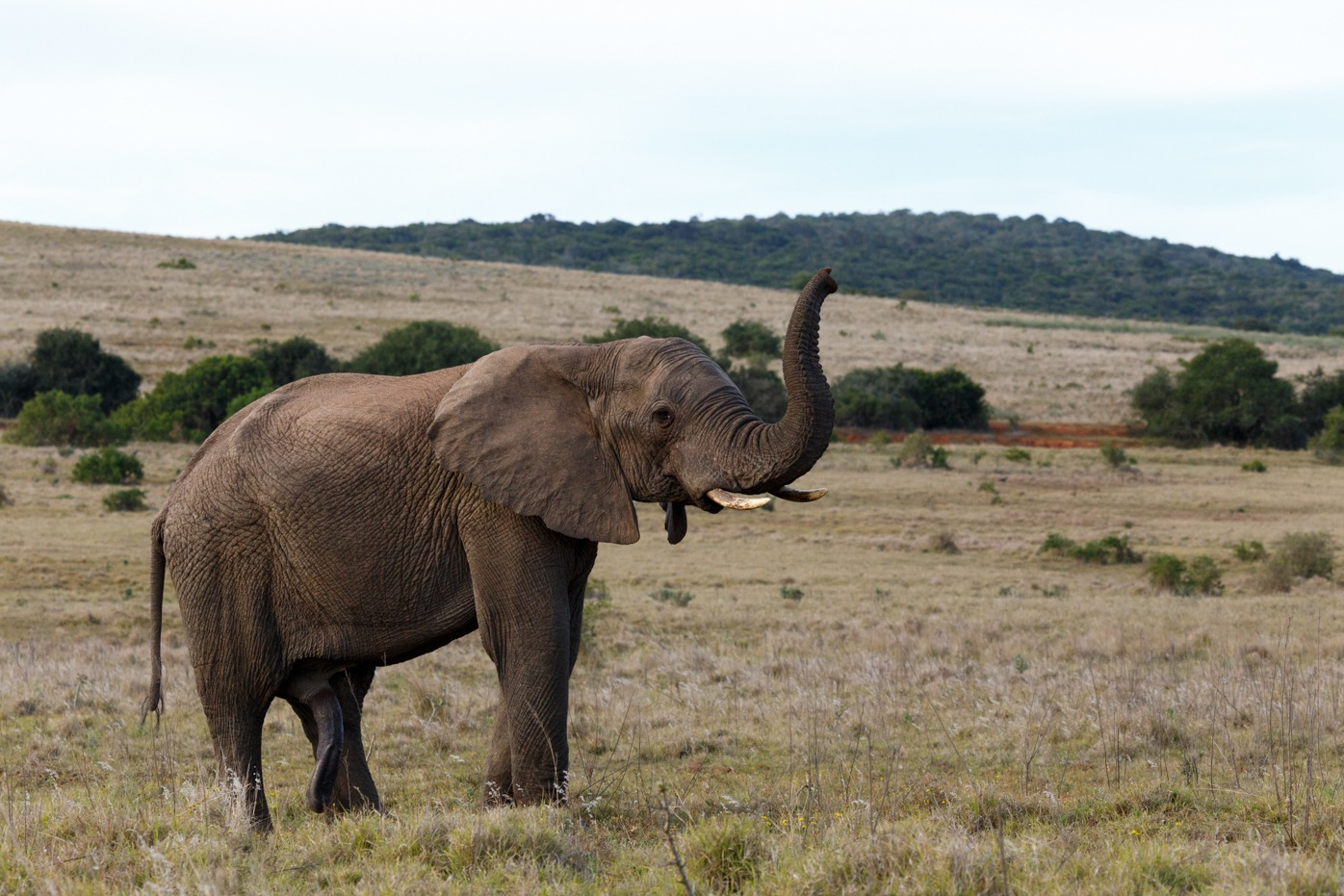 Bush Elephant with his trunk up in the air by Charissa de Scande Lotter