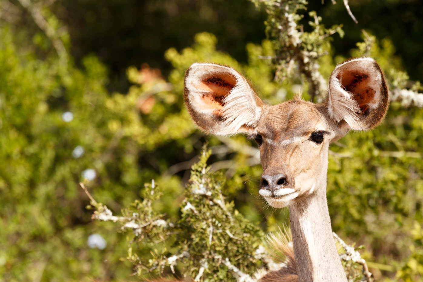 Female Kudu standing deep in thought by Charissa de Scande Lotter