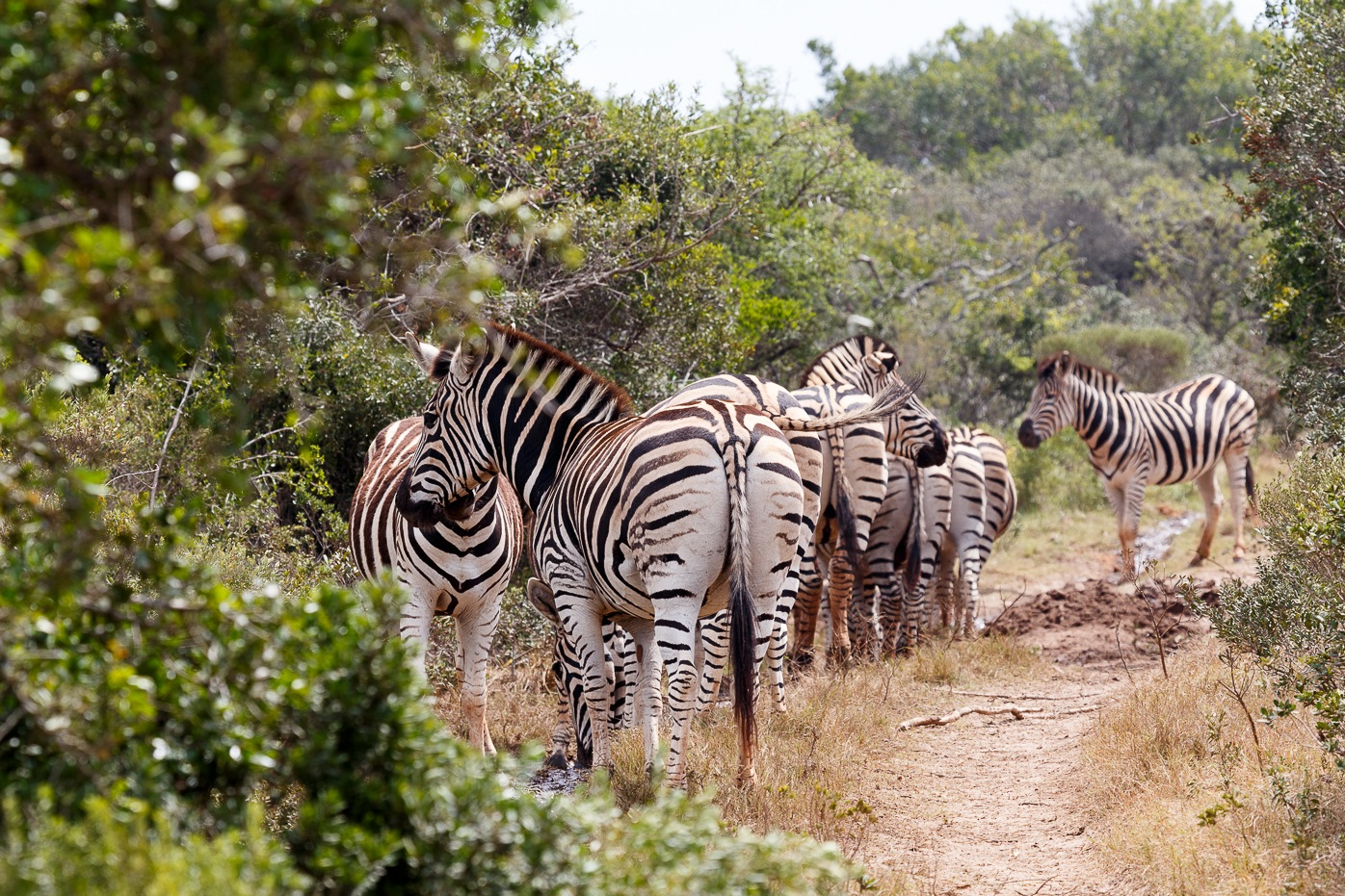 Zebra family bundling up to go to the dam by Charissa de Scande Lotter