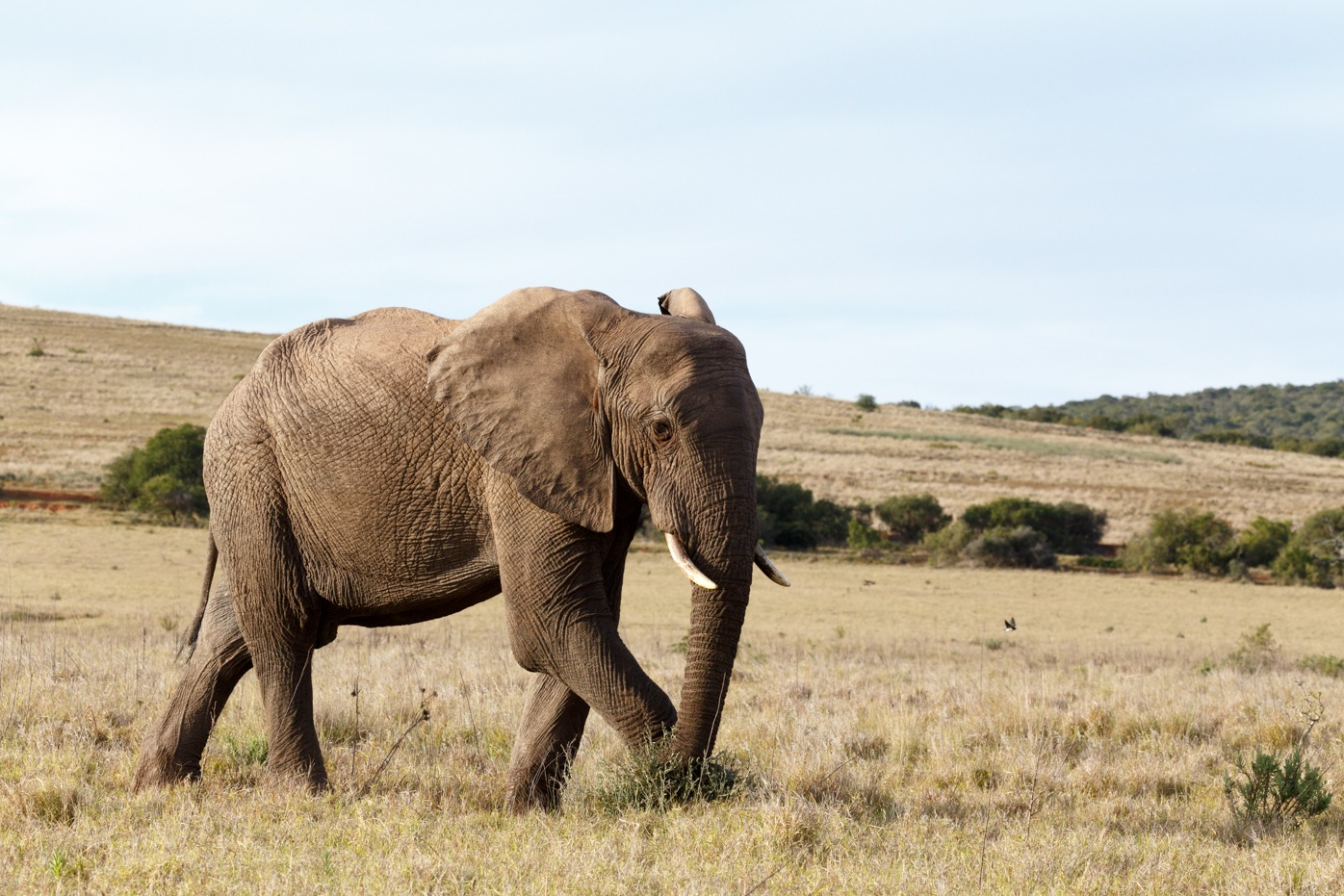 Bush Elephant walking and picking on the grass on the side by Charissa de Scande Lotter