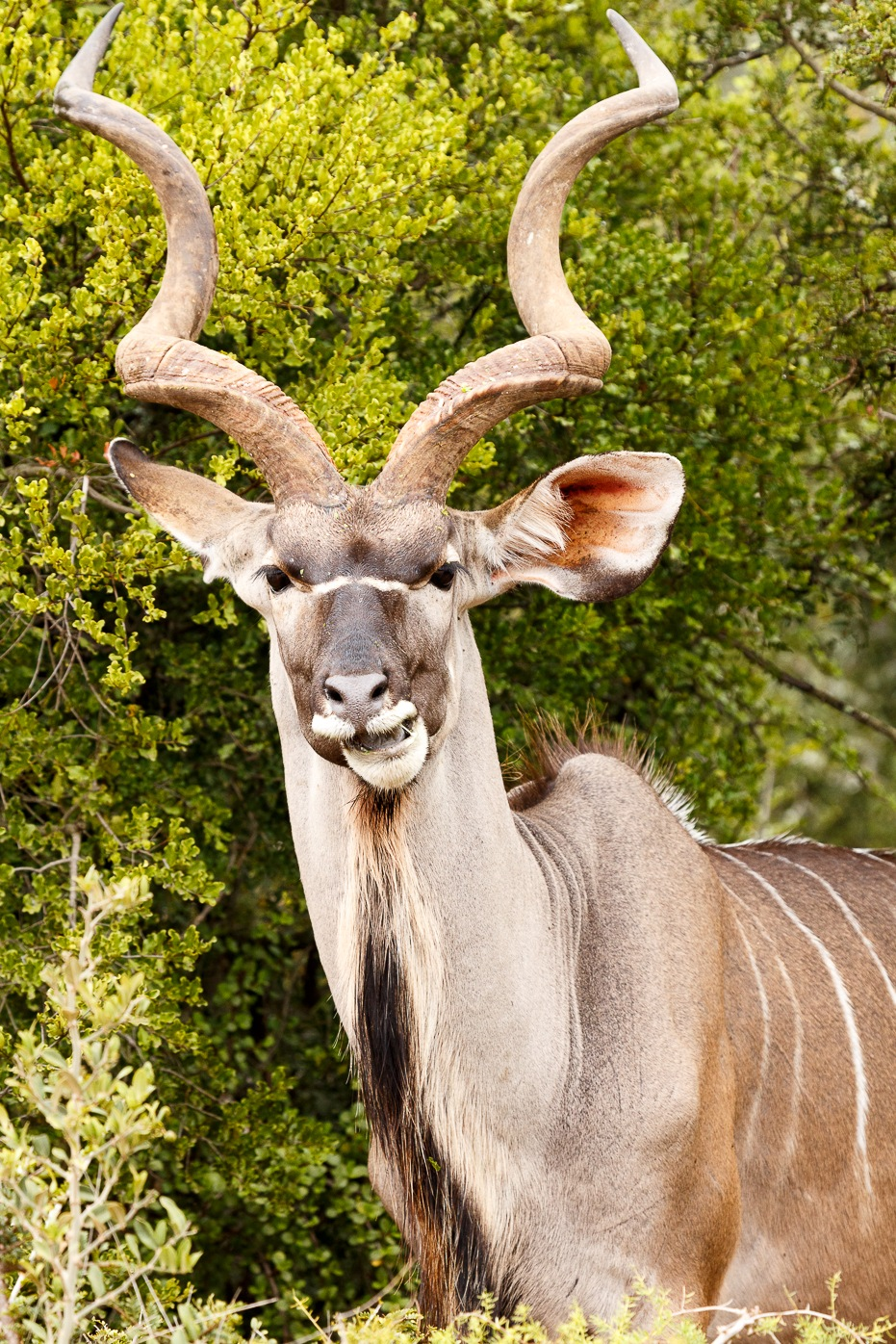 Greater Kudu chewing on a leaf  by Charissa de Scande Lotter