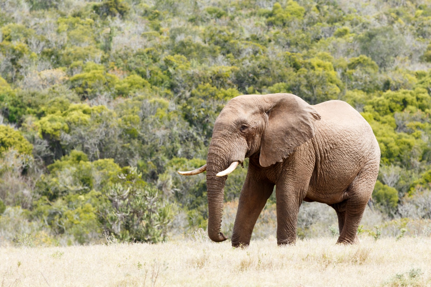Bush Elephant standing proud with huge tusks by Charissa de Scande Lotter