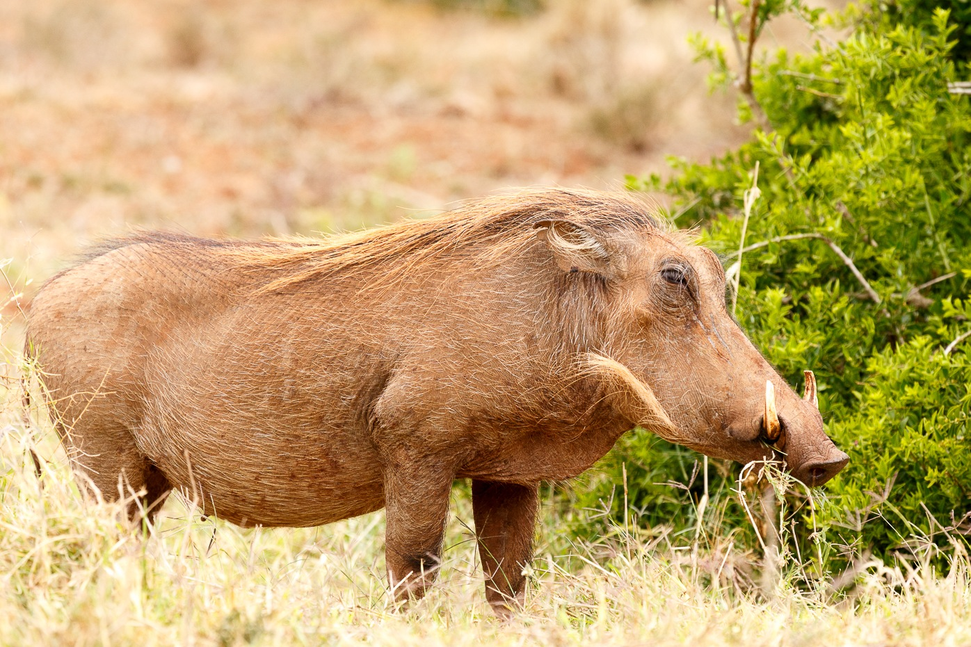 Warthog standing and chilling by Charissa de Scande Lotter