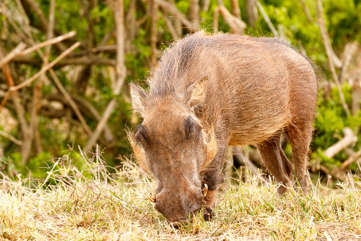 Warthog enjoying his grass by Charissa de Scande Lotter