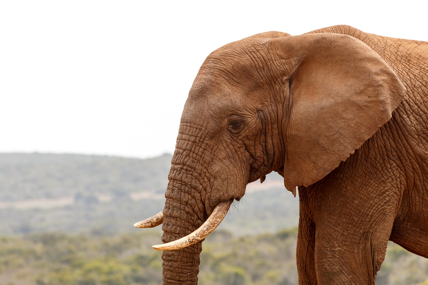 African Elephant looking down to the ground by Charissa de Scande Lotter