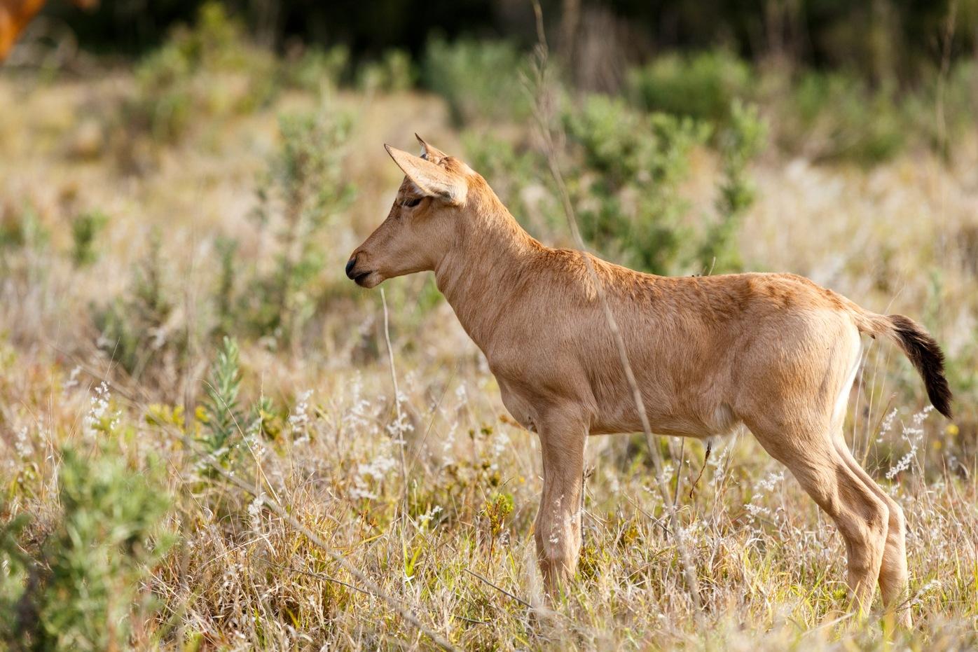 Newborn Red Hartebeest standing like a dog by Charissa de Scande Lotter