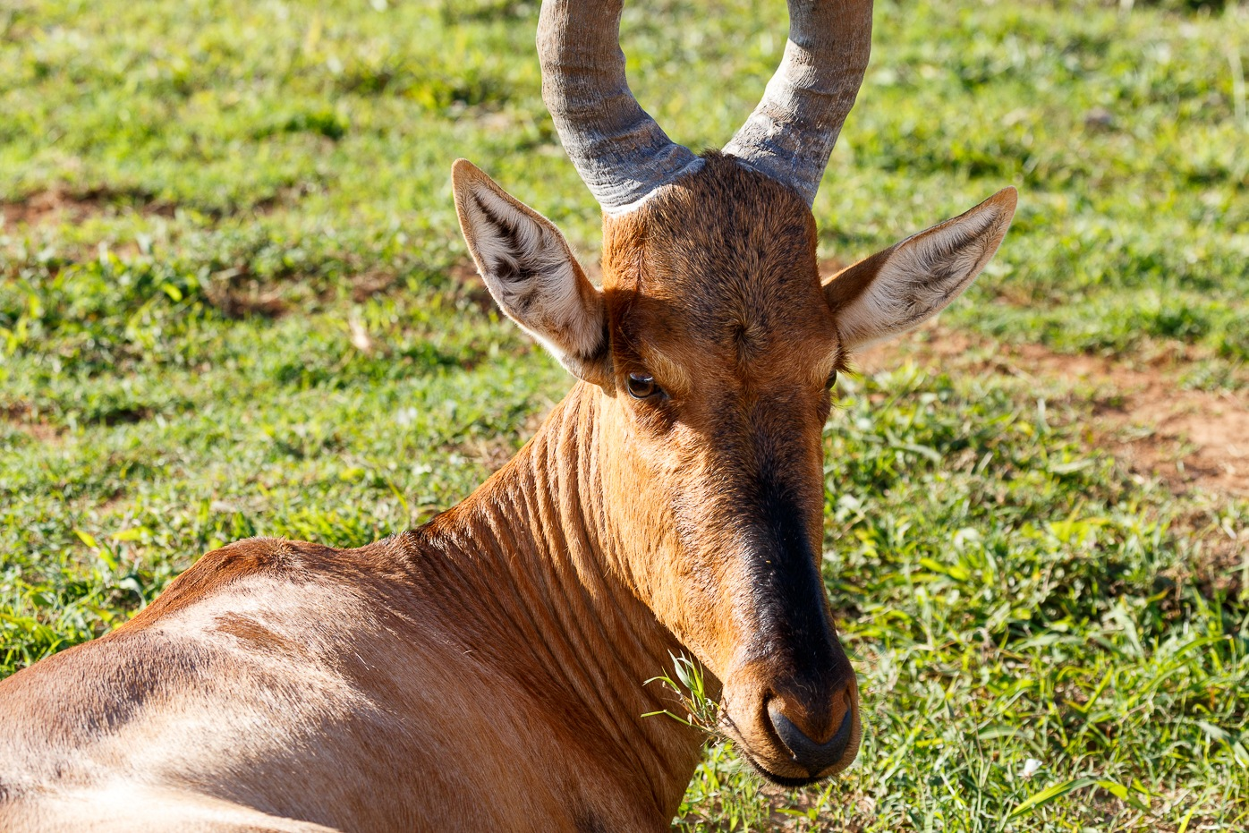 Red Hartebeest sitting and munching on his grass by Charissa de Scande Lotter