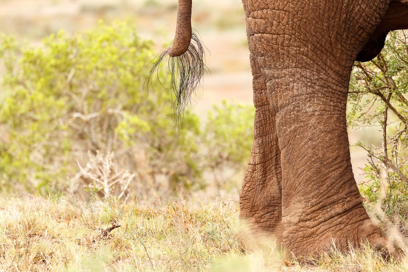 Tail and legs of a Bush Elephant  by Charissa de Scande Lotter