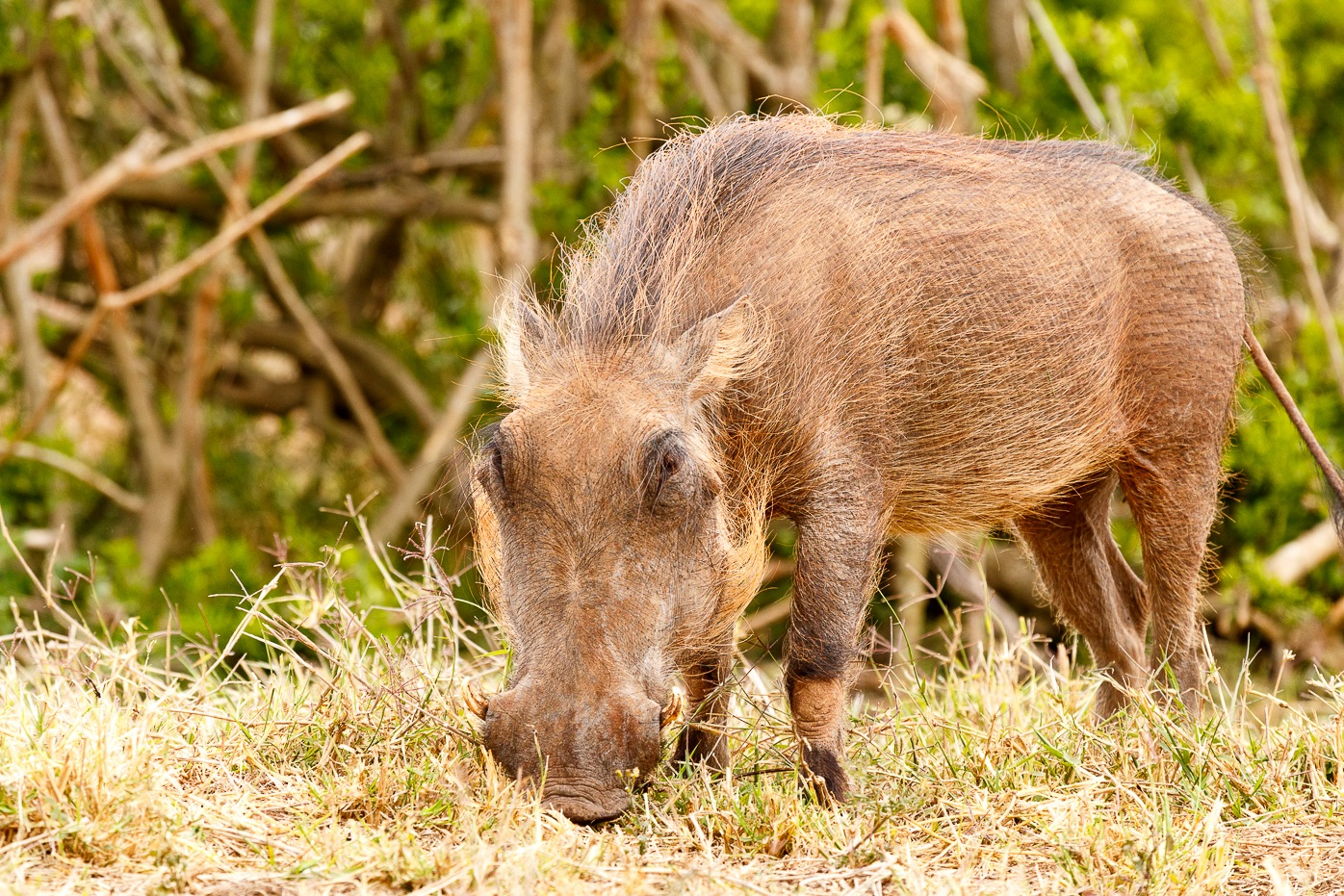 Warthog eating intensely on his grass  by Charissa de Scande Lotter