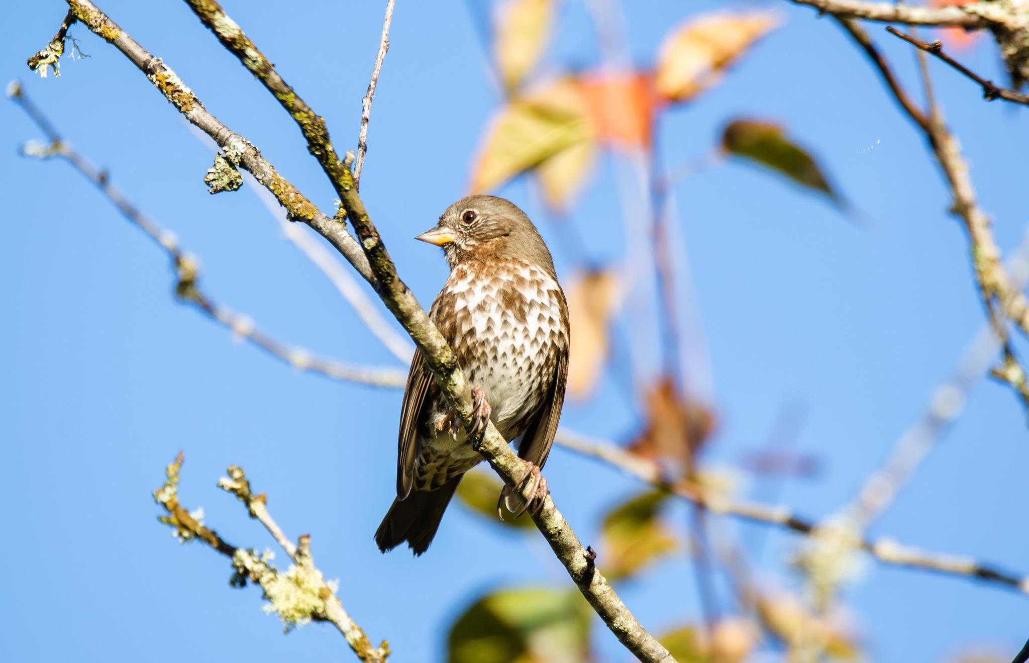 Fox Sparrow by Robert Stenseth
