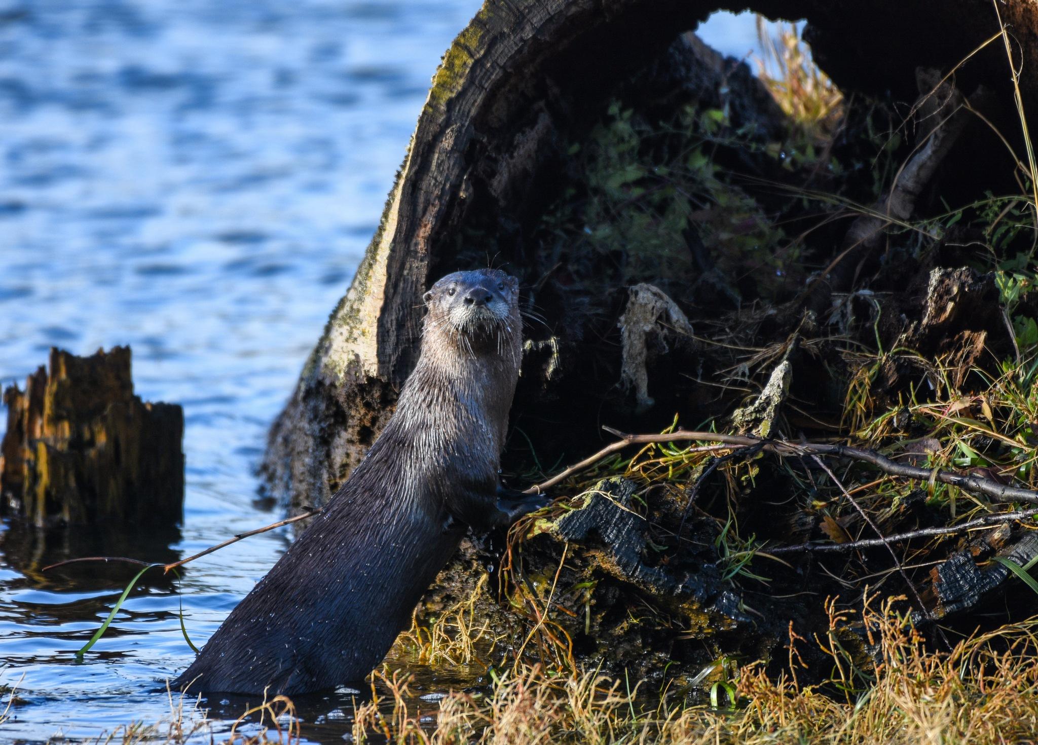 Posing Otter by Robert Stenseth