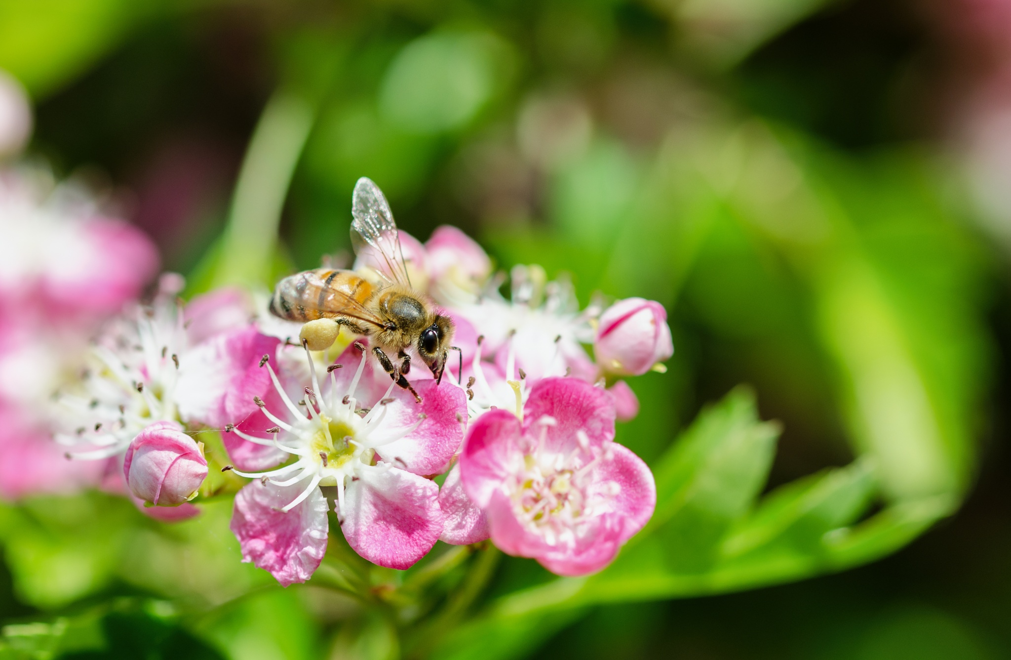 Honey Bee by Robert Stenseth