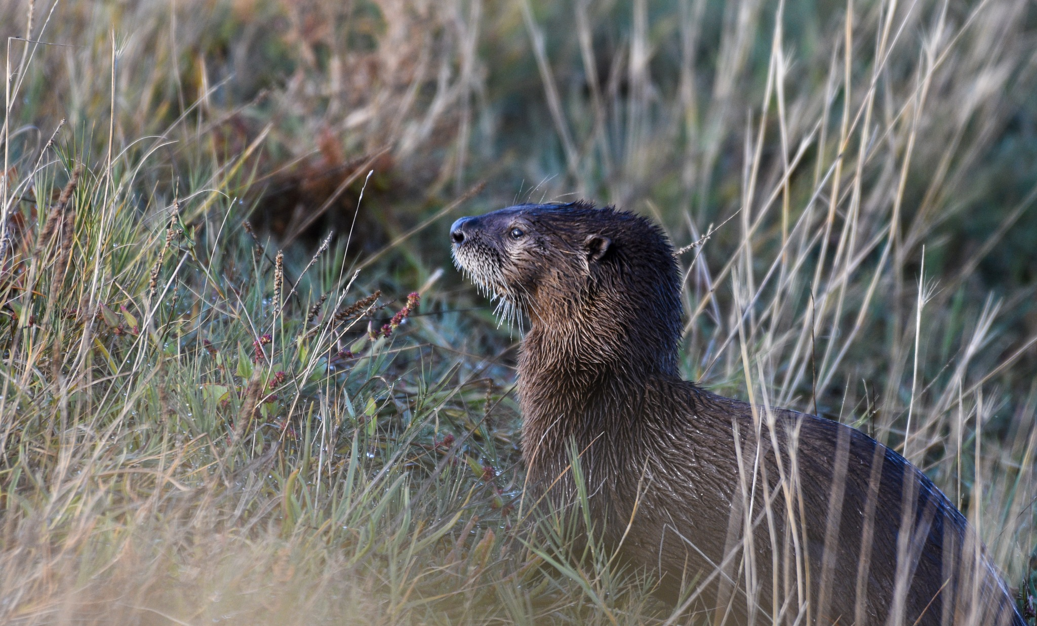River Otter by Robert Stenseth