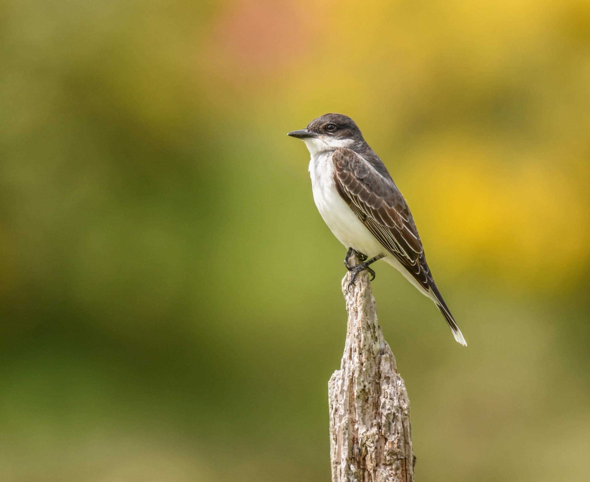 Eastern Kingbird by Robert Stenseth