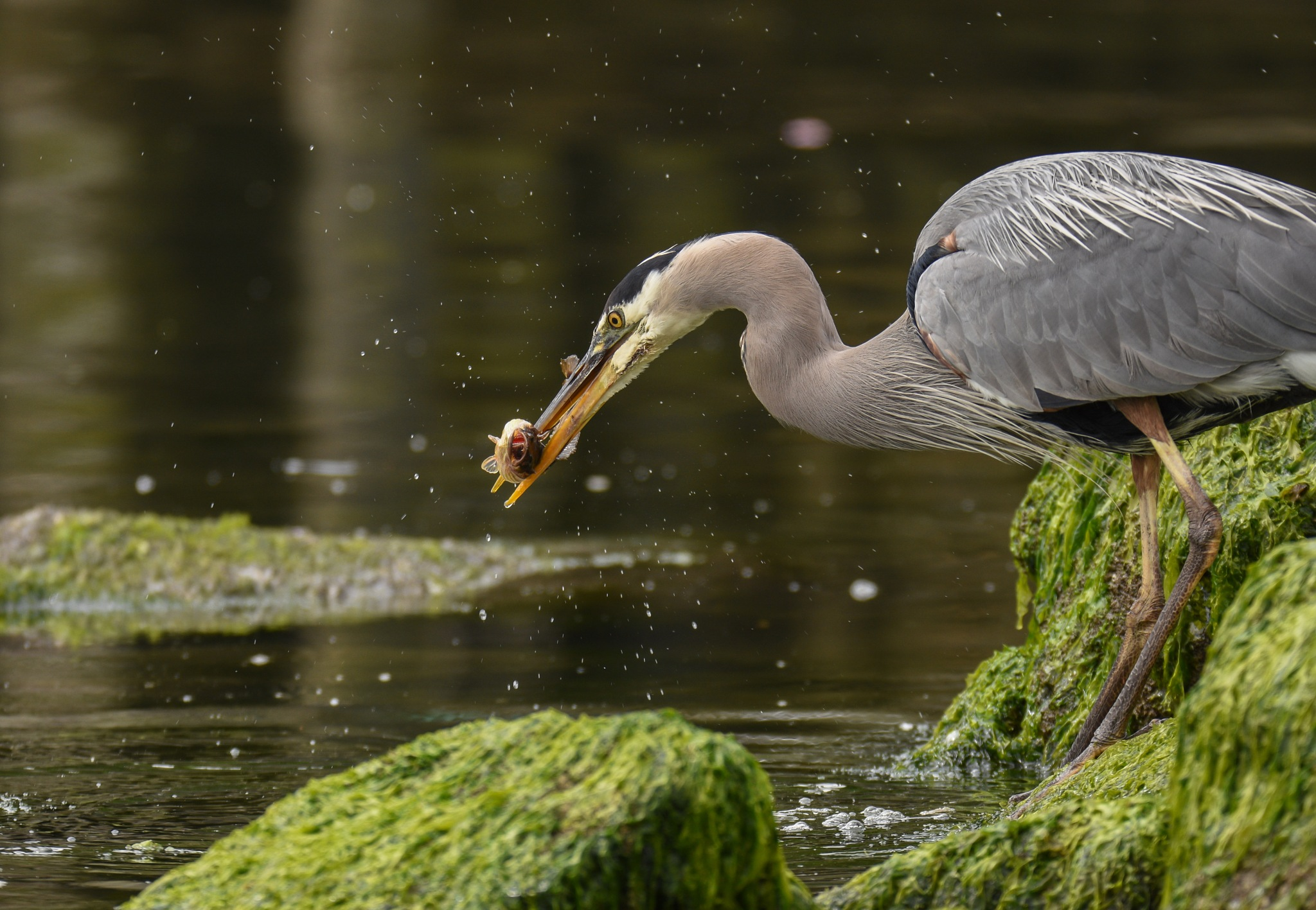 Great Blue Heron by Robert Stenseth