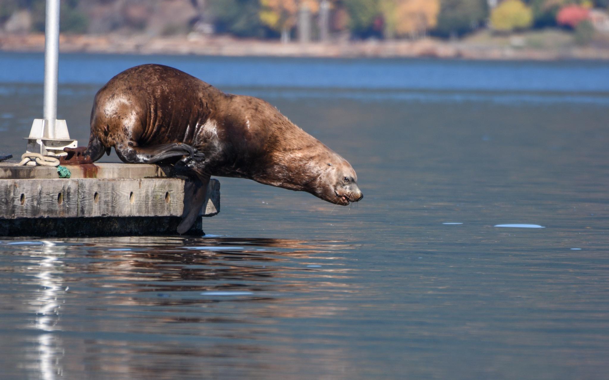 Steller Sea Lion by Robert Stenseth