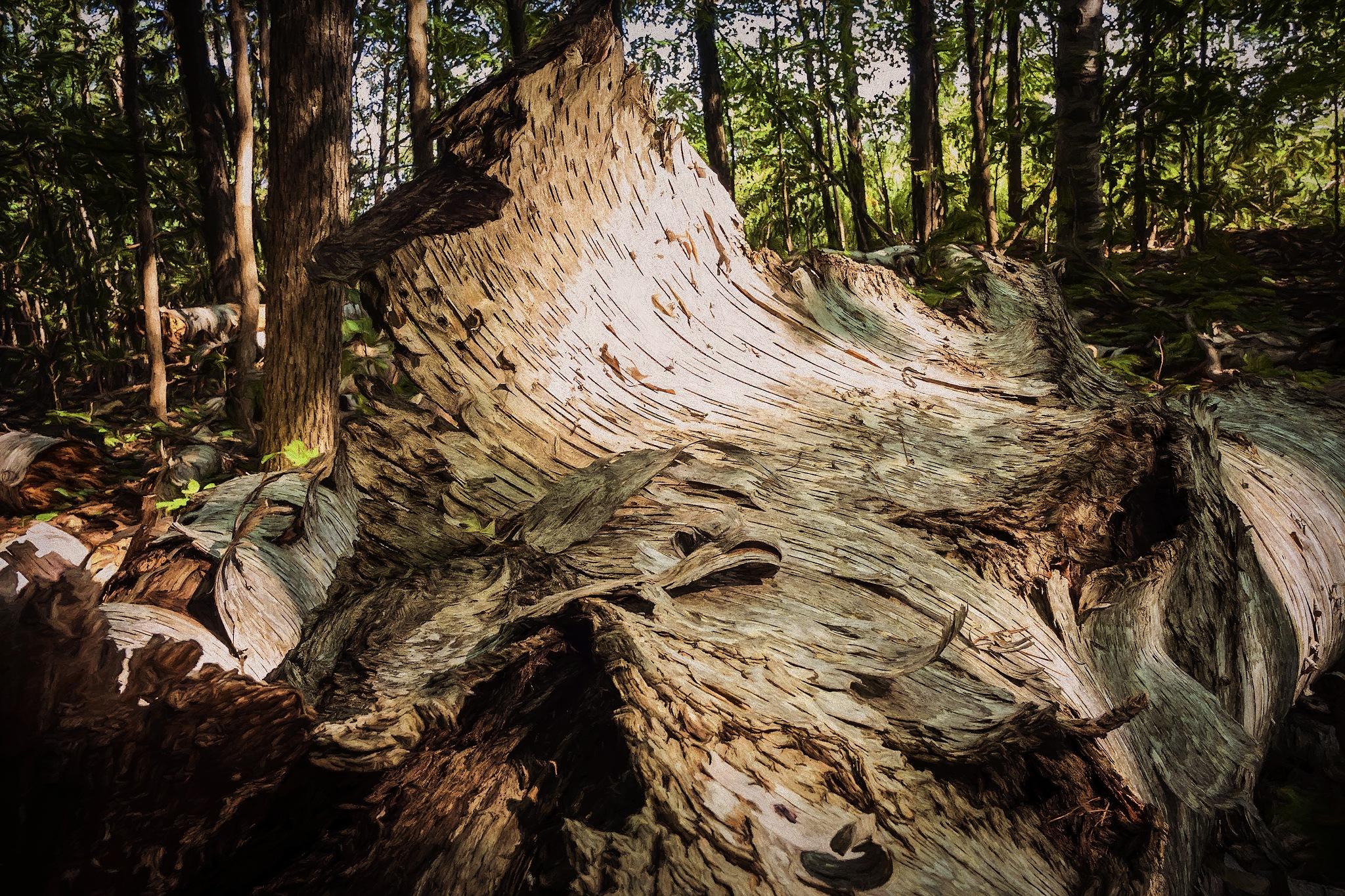 Death Of A Birch by Kevin Hancey