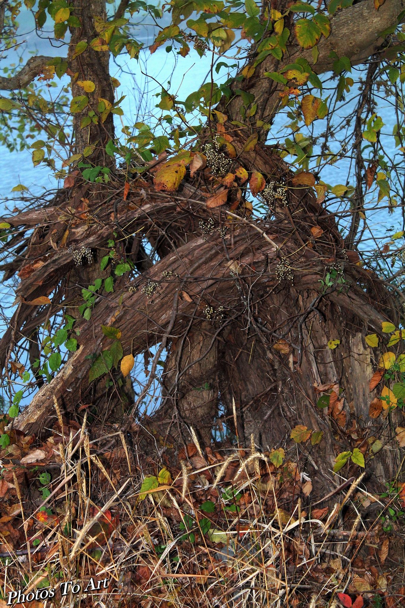 living stump by Calvin Burdette