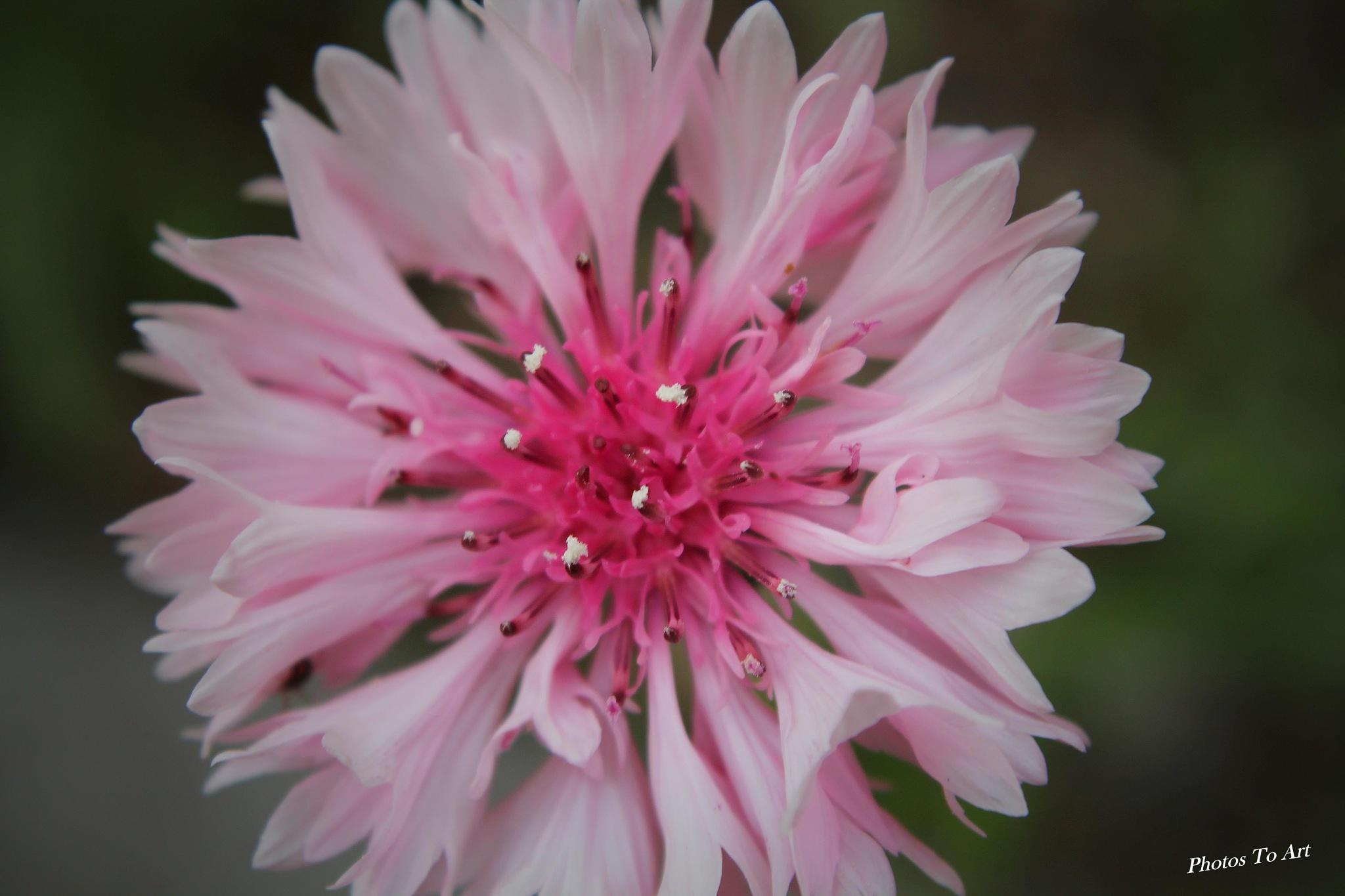 deep pink center by Calvin Burdette