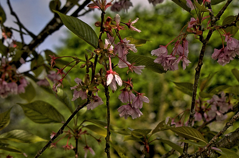 cherry blossom  by Rob Helliker