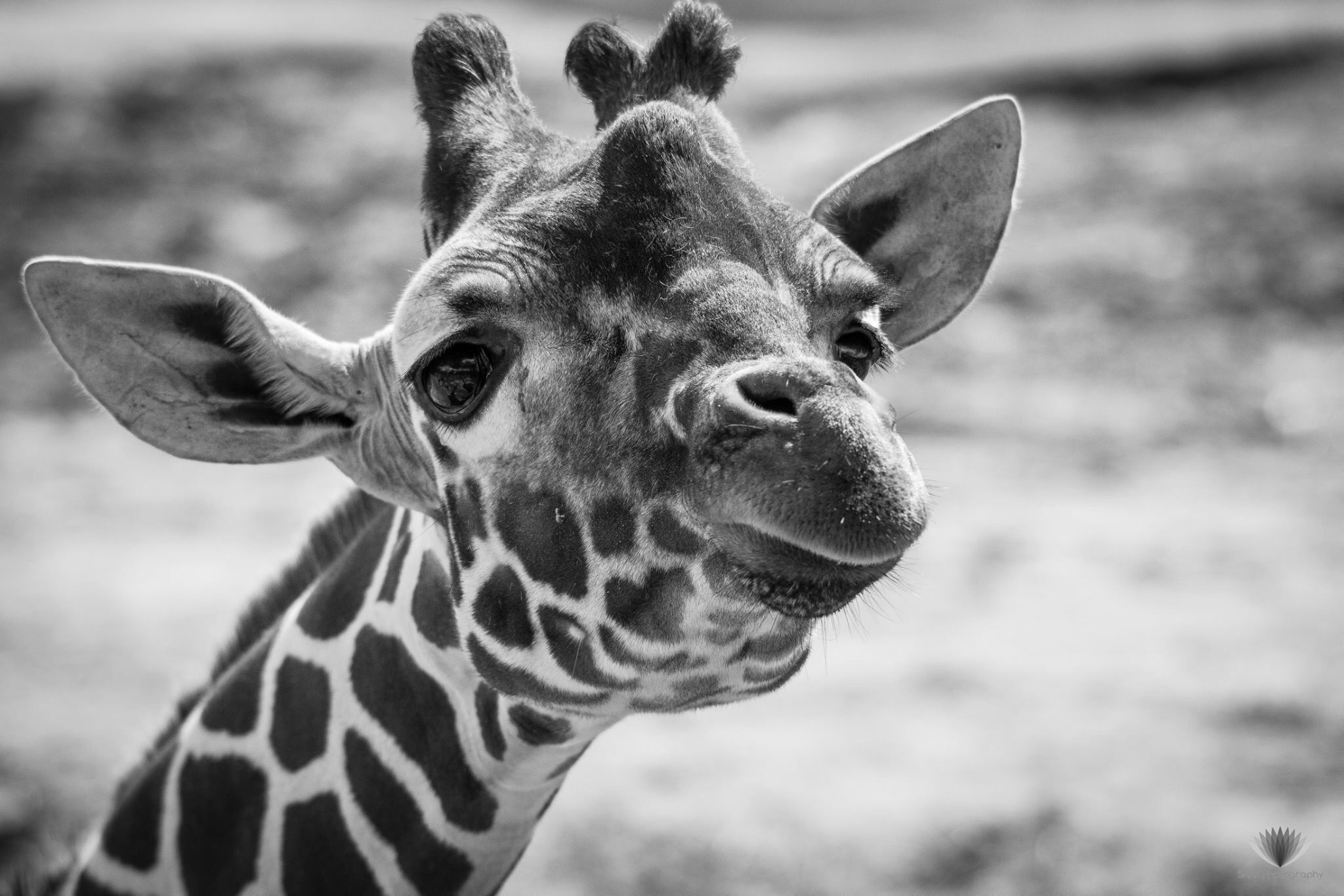 Happy giraffe by Sam Auger-Forbes