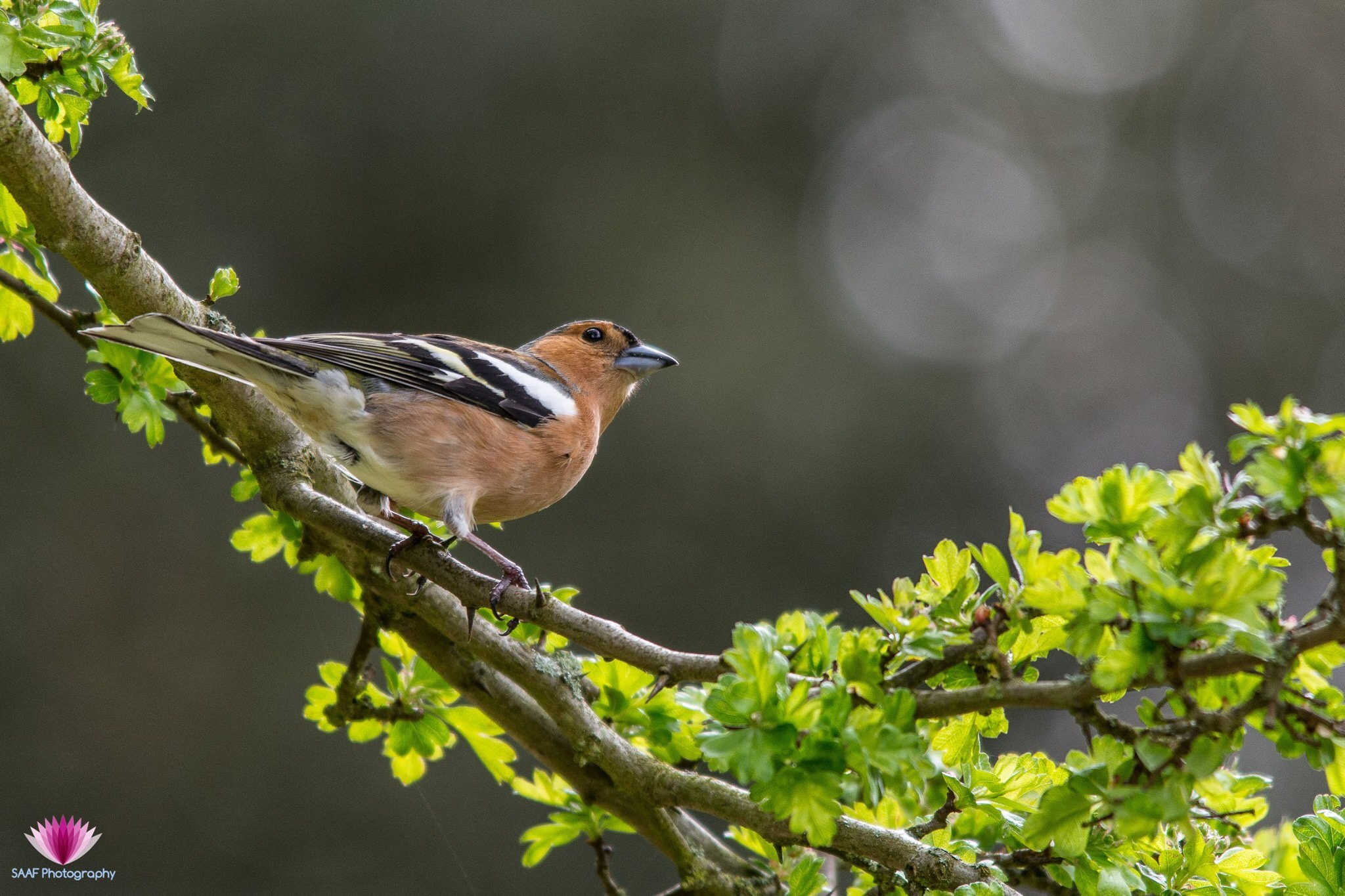 Bokeh Chaffinch by Sam Auger-Forbes