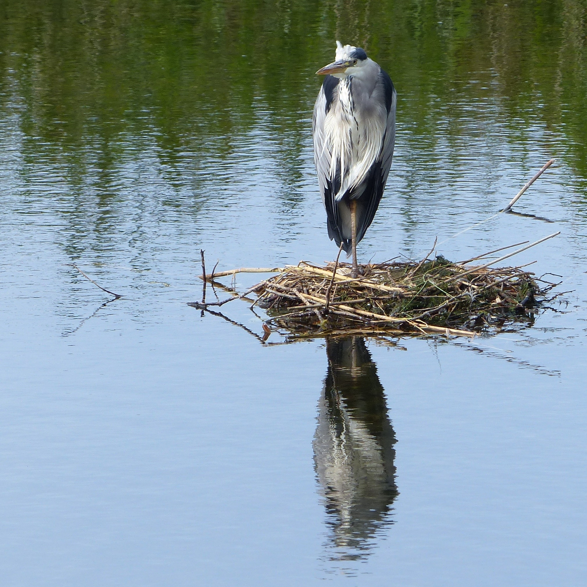 Heron by Rosita Ridell
