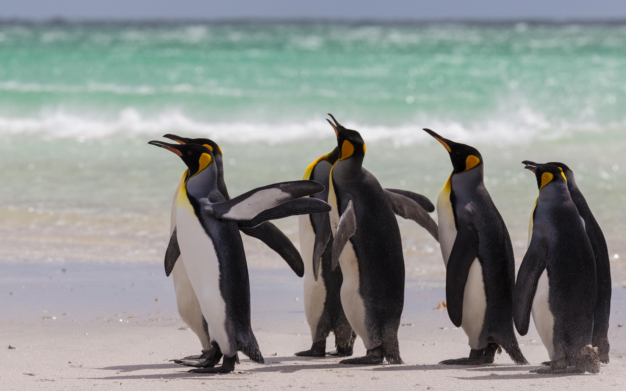 King penguins at the beach by hossamJaber