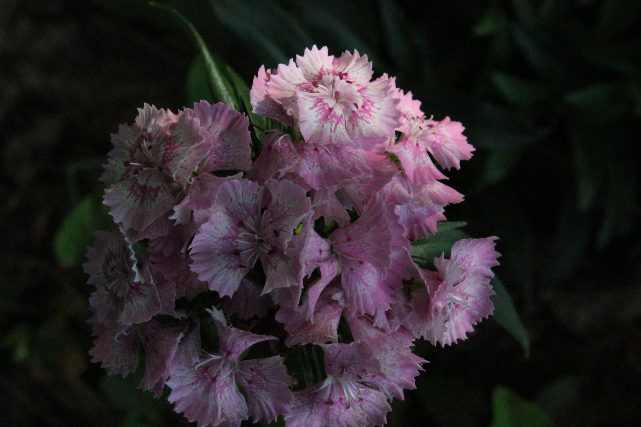 Photo in Nature #lite #purple #flower #plants #nature #pretty