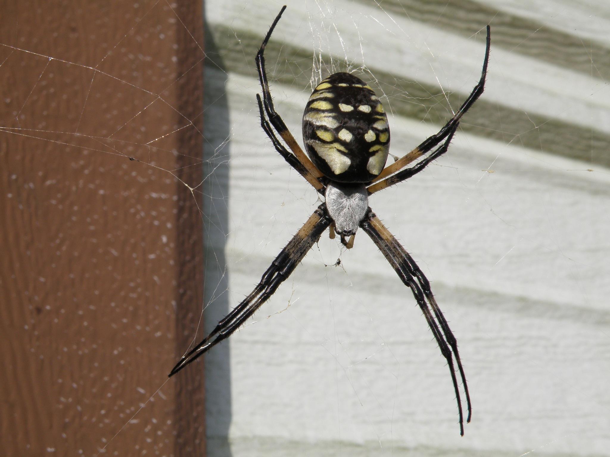 Garden Spider by N4CER70
