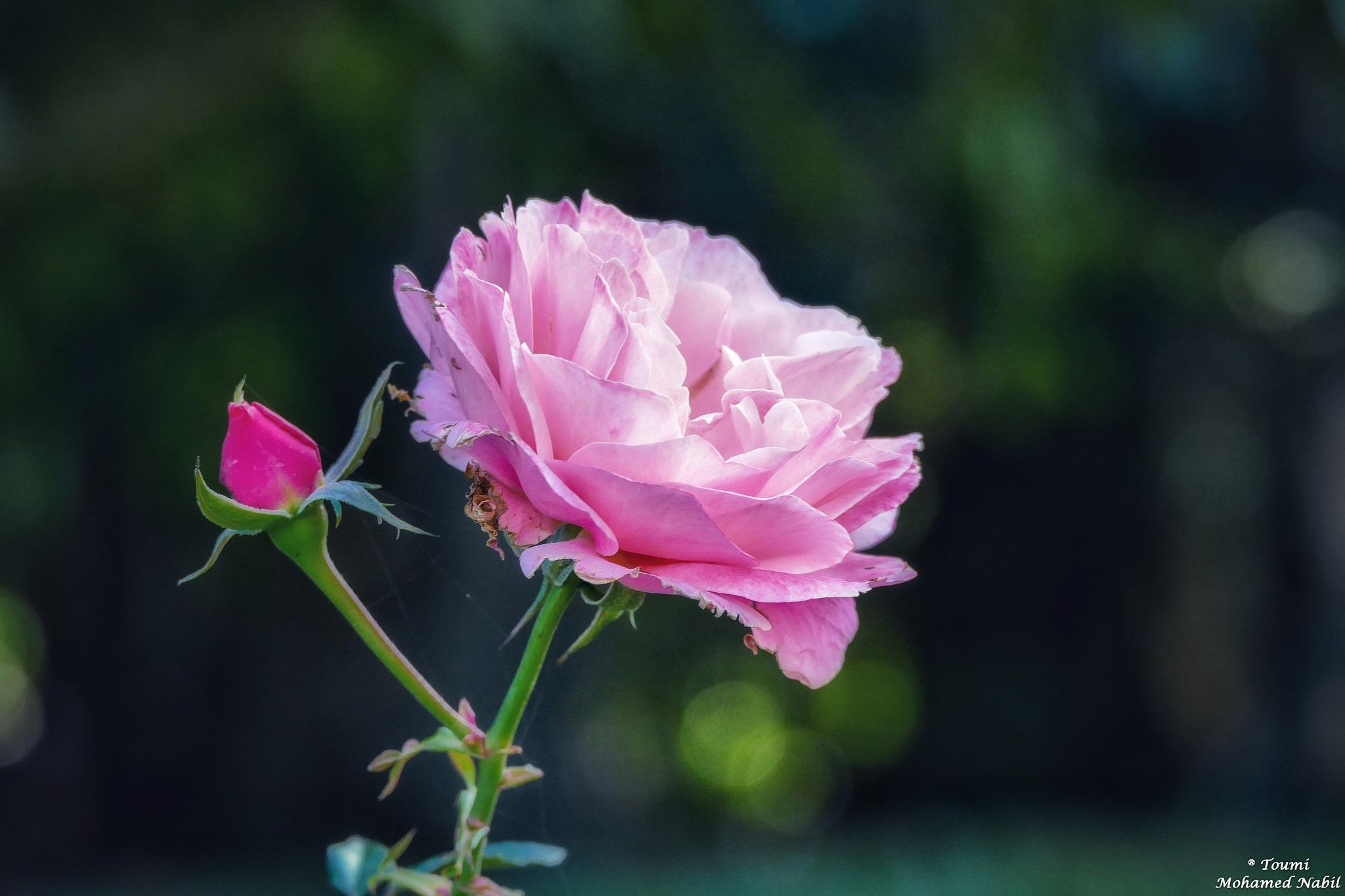 rose by Toumi Mohamed Nabil