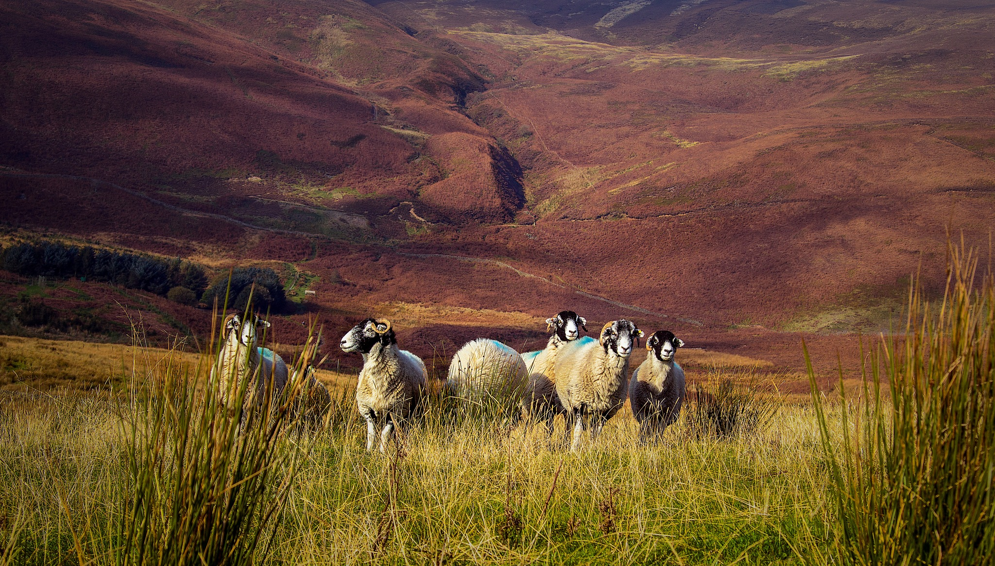 Sheep on Beacon Fell by A.J. Harrison