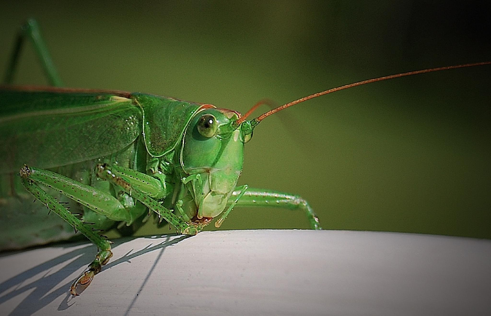 die grüne Heuschrecke  by mimicahalkijevic