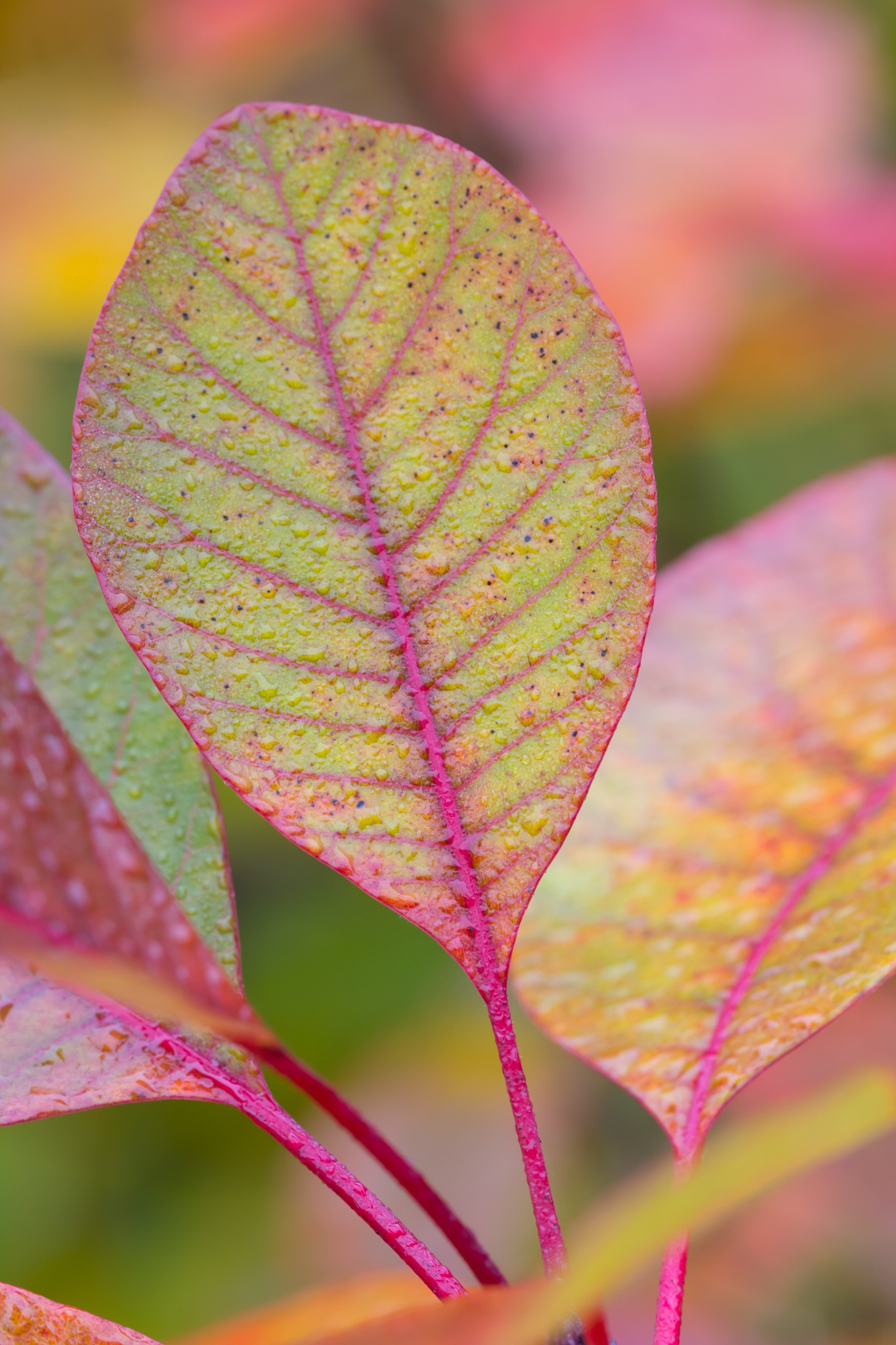 Cotinus Coggyria by Anthony_Mitchell