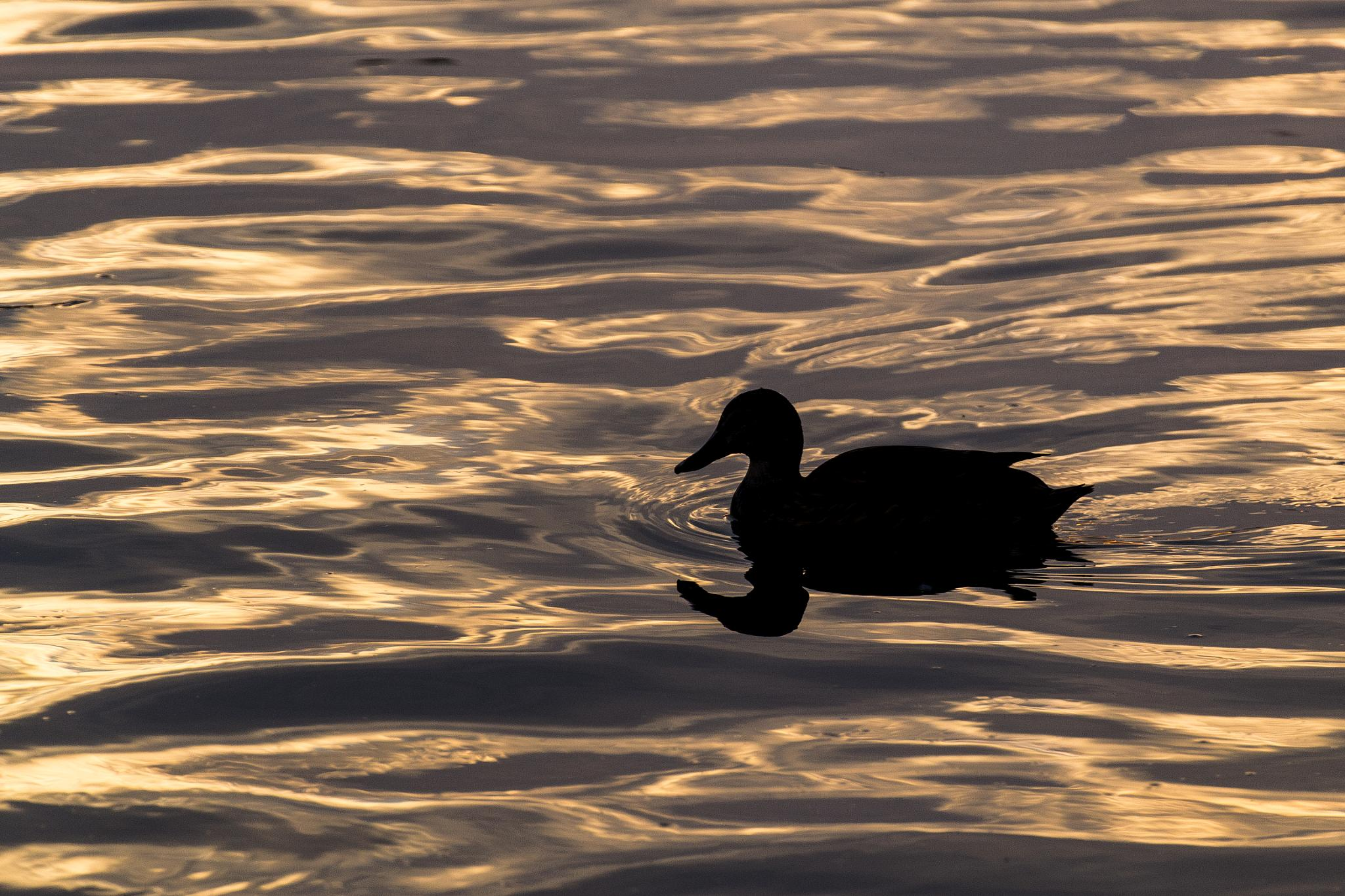 Photo in Animal #duck #animal #water #sunset