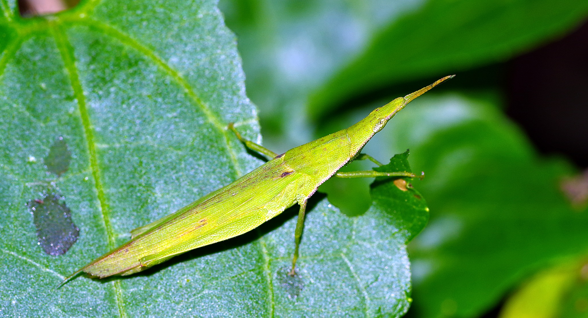 Slant faced or long nosed grasshopper by Turbo