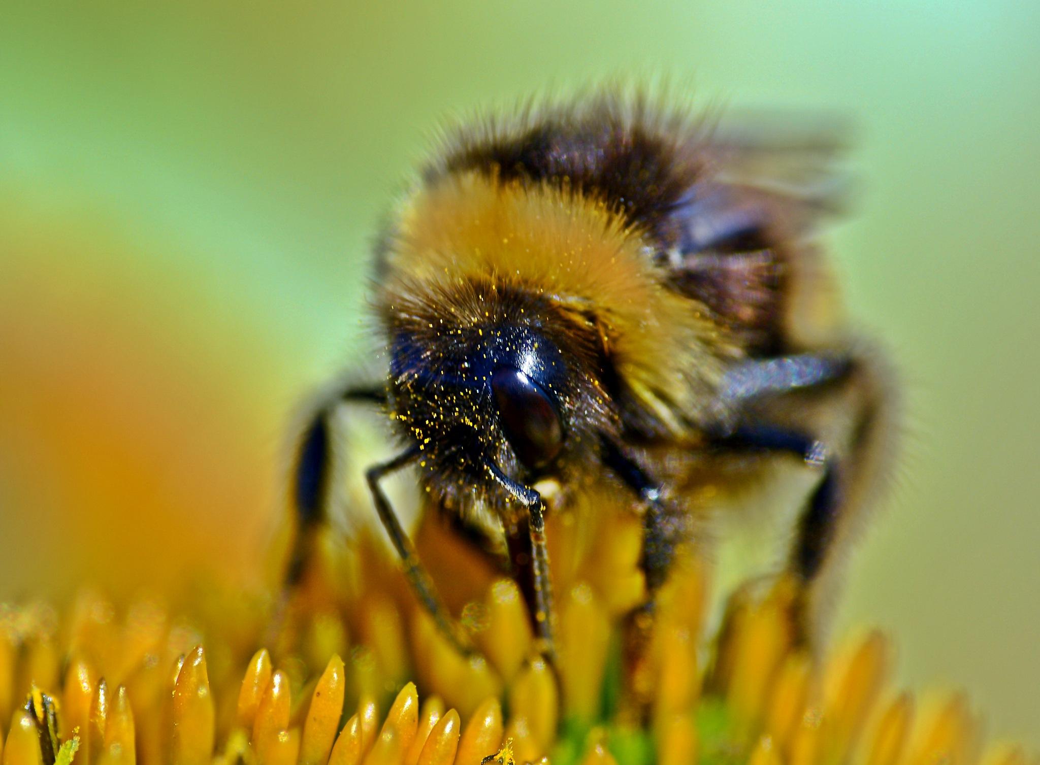 Honey bee by Turbo