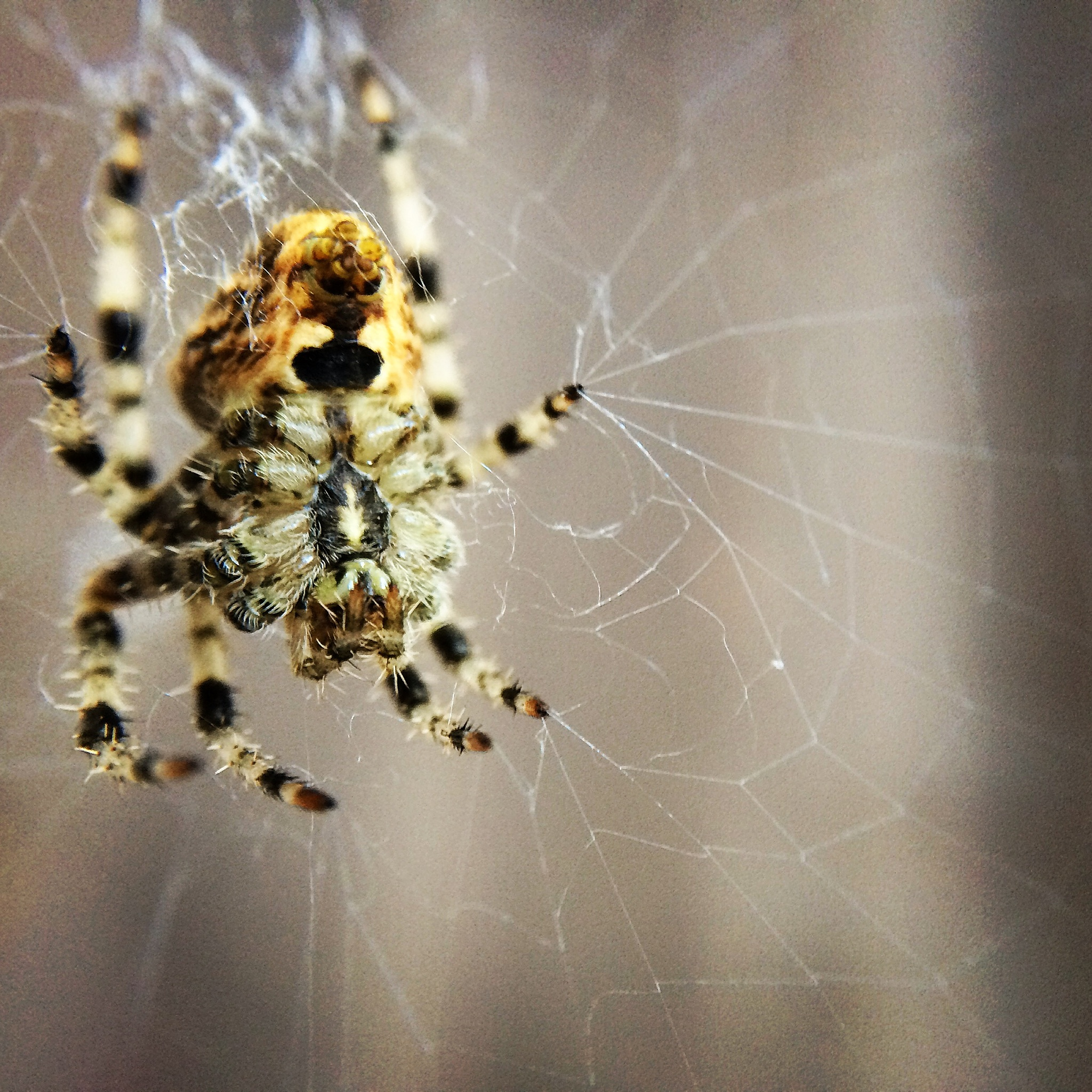 Araneus Diadematus Female Cross Orb Weaver by Barbara Cardinali MacFerrin