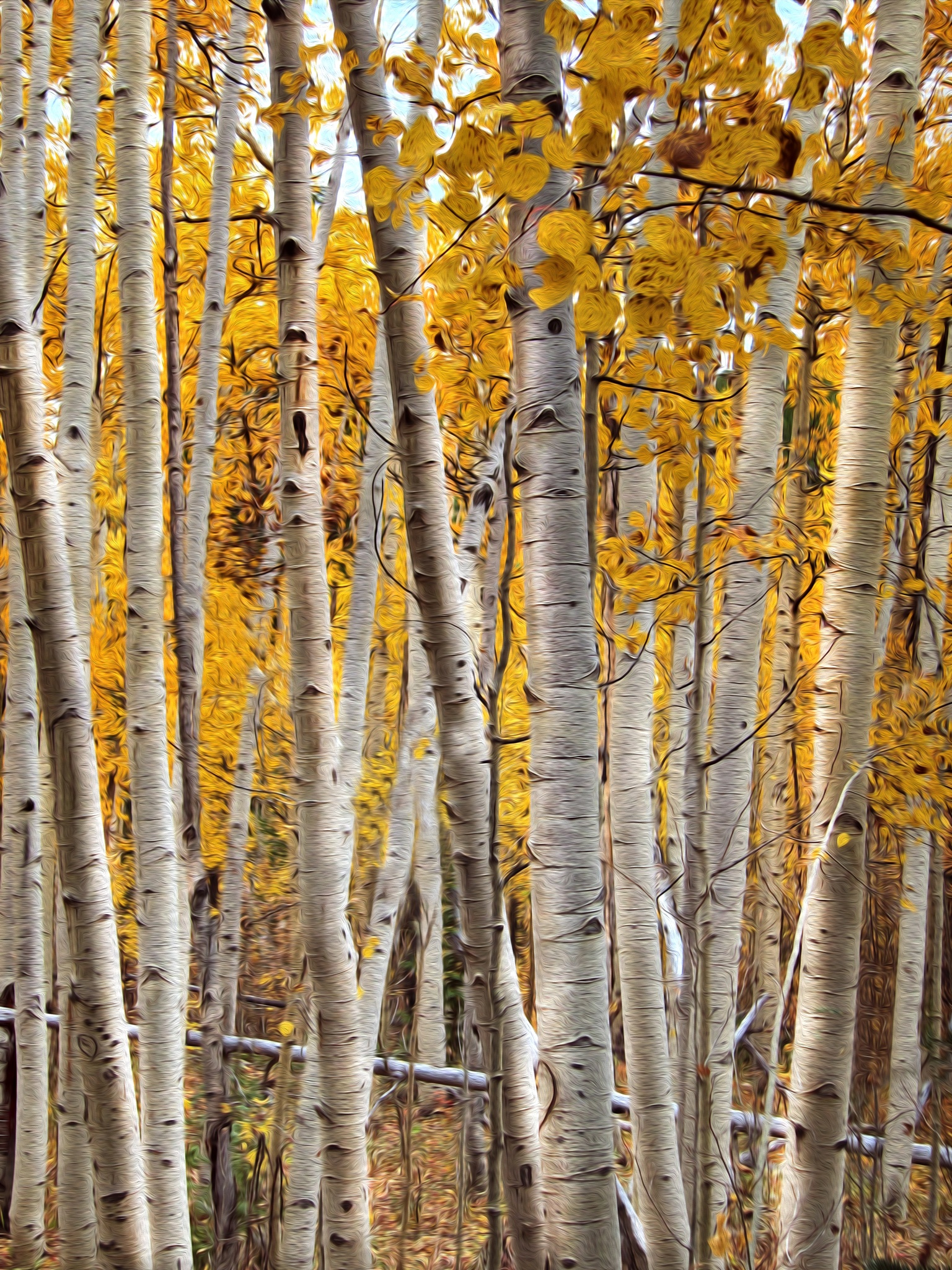 Golden Aspens by Barbara Cardinali MacFerrin