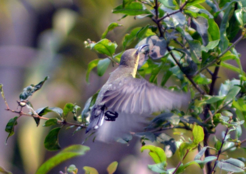 Female Sun bird by Narayan Sarma