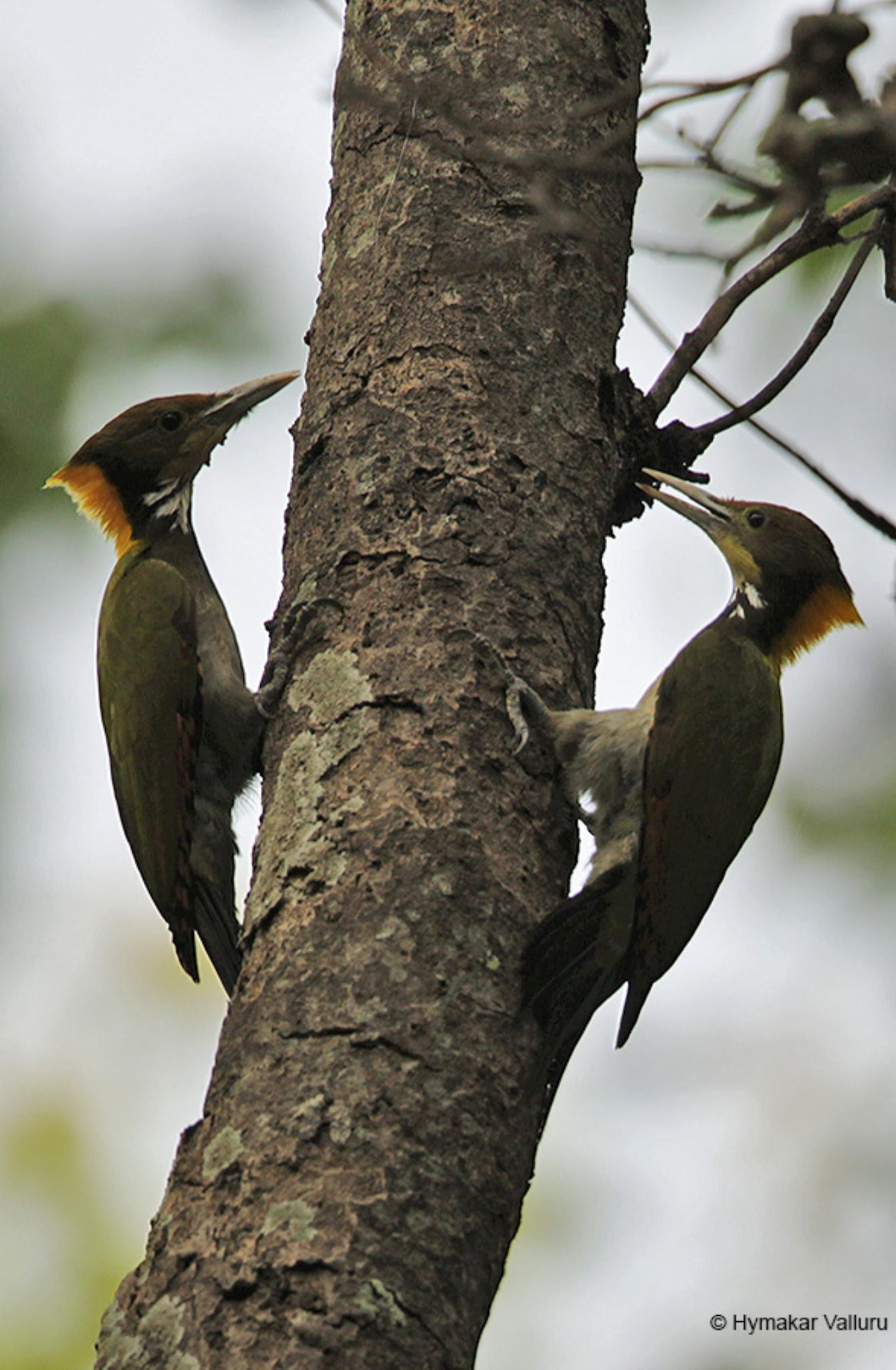 Greater-Yellow-naped by Hymakar