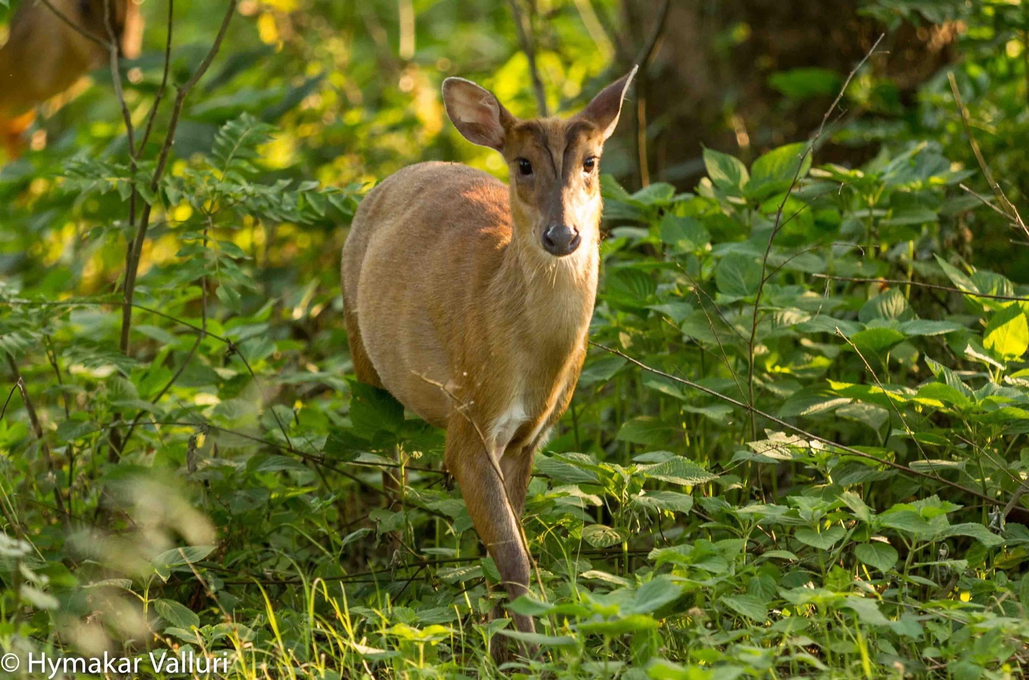 Barking Deer by Hymakar